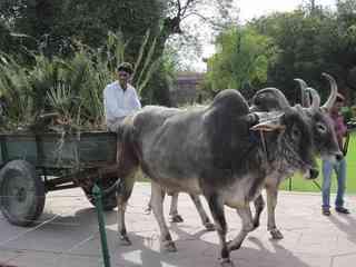インドの牛車.jpg