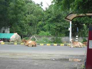 インドの道路でくつろぐ牛.jpg